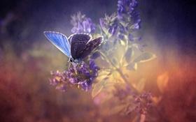 Картинка природа, бабочка, nature, butterfly, лаванда, lavender