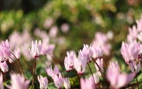 Картинка трава, макро, цветы, природа, блики, розовый, земля
