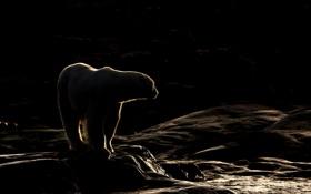 Обои Whiteisland, Norway, Polarbear