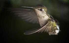 Обои птица, крылья, размытость, колибри, полёт