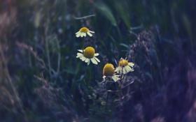 Обои лето, Ромашки, цветное