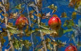 Обои небо, листья, ветки, яблоки, сад, плод