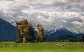 Картинка животные, деревья, природа, обои, пейзажи, овцы, пастбище