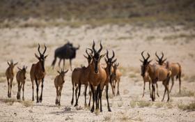 Картинка природа, Африка, антилопы