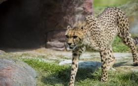 Обои хищник, гепард, грация, дикая кошка