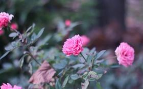 Картинка цветы, куст, розы, лепестки
