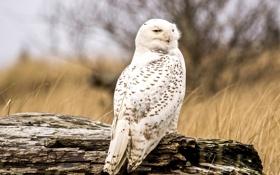 Обои сова, перья, белая, смотрит