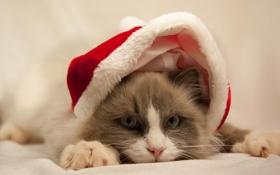 Картинка кошка, белый, глаза, кот, серый, шапка, голубые