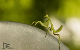 Обои природа, фон, mantis