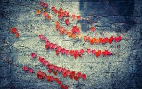 Картинка листья, красный, стена, цвет