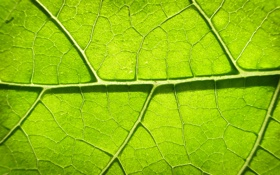 Обои green, leaves, photosynthesis