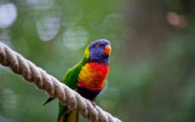 Обои цвета, птица, веревка, попугай, насест
