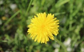 Обои цветок, жёлтый, одуванчик, со стеблем