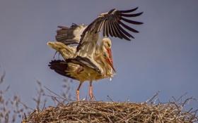 Обои природа, аисты, птицы