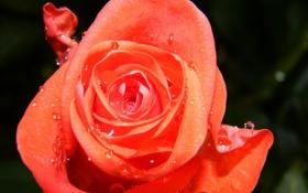 Обои цветок, роза, капля