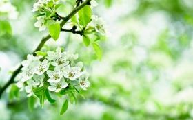 Обои листья, ветки, яблоня, цветы