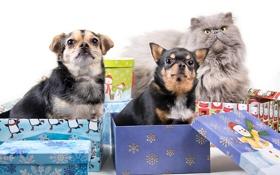 Обои собаки, кот, обработка, подарки, коробки, разные вместе