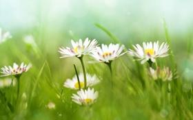 Обои ромашки, grass, травы, цветы ромашки, Chamomile, daisy flowers