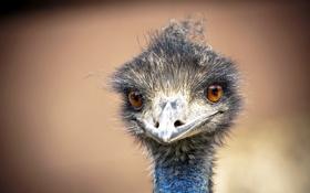 Картинка птица, страус, эму