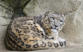 Картинка кошка, камни, ирбис, снежный барс, ©Tambako The Jaguar