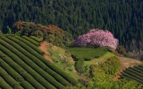 Картинка лес, природа, Япония, сакура, чайные плантации