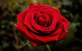 Картинка цветок, макро, красный, роза, лепестки, бутон, (с) Natasa Opacic