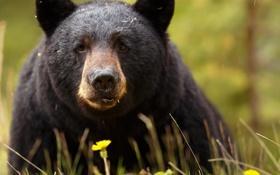 Картинка взгляд, морда, медведь, барибал, чёрный медведь