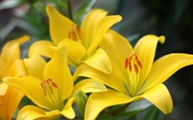 Обои цветы, лилия, ветка, желтая