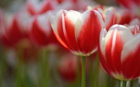 Картинка макро, цветы, лепестки, размытость, Тюльпаны, бело-красные