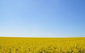 Картинка небо, цветы, синий, горизонт, бесконечность, поле из золота