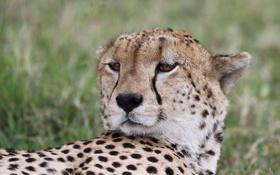 Картинка кошка, морда, отдых, гепард