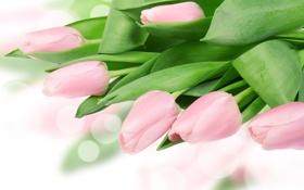 Обои листья, блики, тюльпаны, нежно-розовые