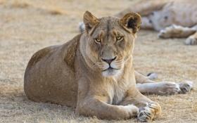 Картинка кошка, львица, ©Tambako The Jaguar