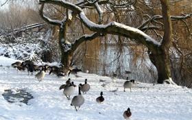 Картинка пруд, утки, деревья, зима, парк, озеро