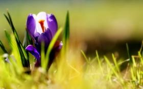 Обои фиолетовые, цветы, трава, крокусы