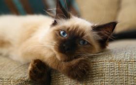 Картинка кошка, кот, взгляд, отдых, кошак