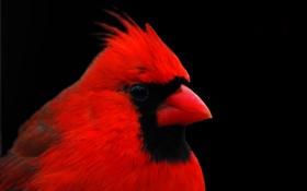 Картинка макро, птица, перья, клюв, кардинал