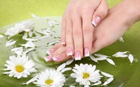 Обои цветы, руки, daisies, manicure, spa