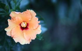 Картинка цветок, оранжевый, фон, лепестки, зелёный