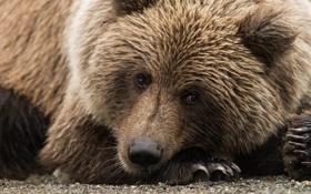 Обои галька, бурый медведь, камушки, портет