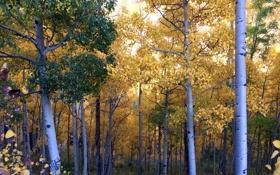 Обои осень, лес, листья, деревья, роща, осина