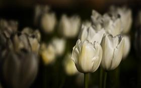 Обои белые, поле, тюльпаны, клюмба, цветы