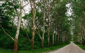 Обои зелень, деревья, дорога