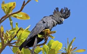 Картинка небо, листья, ветки, дерево, птица, попугай, хохолок