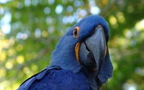 Картинка синий, птица, попугай