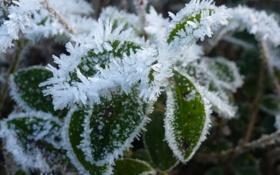Обои холод, иней, макро, лепестки, зеленые