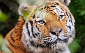 Обои усы, взгляд, морда, тигр, довольный