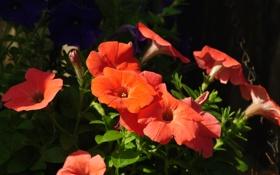 Картинка цветы, природа, flowers, петунии, рetunias