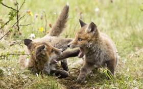 Обои лето, природа, лисы