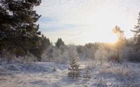 Картинка холод, зима, лес, солнце, снег, деревья, ель
